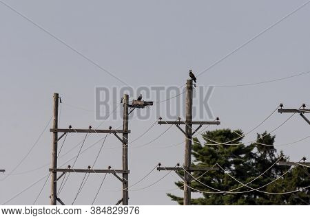 The Western Osprey Sits On A High Voltage Pole In The Background With A Large Juvenile On The Nest