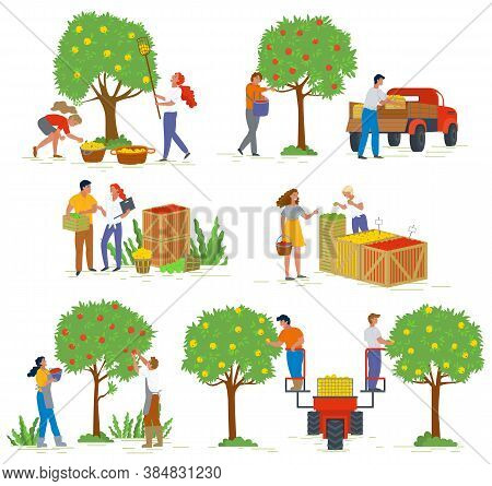 People Harvesting Apples From Trees, Agricultural Work. Man And Woman Characters Gardening, Fruit In