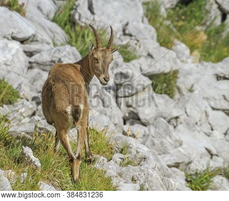 Female Wild Alpine Ibex, Capra Ibex, Or Steinbock Walking On The Rocks In Alps Mountain, France