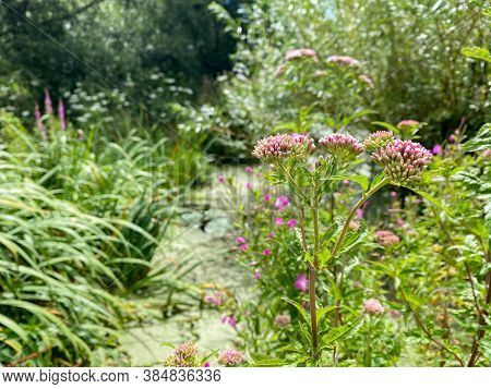 Pink Flowers In Marshy Pond With Green Algae