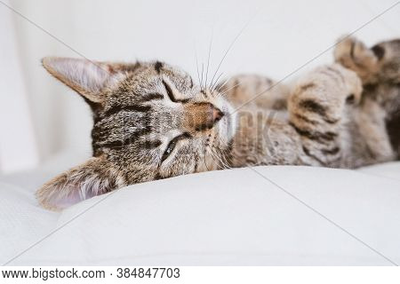 Young European Shorthair Cat Lying On White Background.