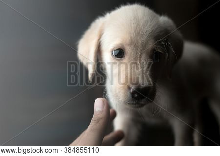 Two Months Old Labrador Puppy By Looking Away