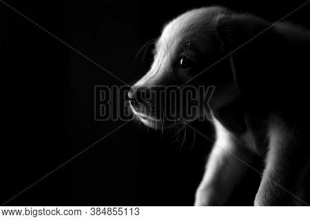 Black And White Photograph Of A Labrador Puppy