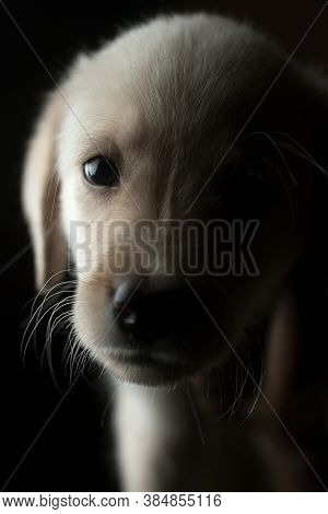 Close Up Shot Of A Labrador Puppy Against Black Background