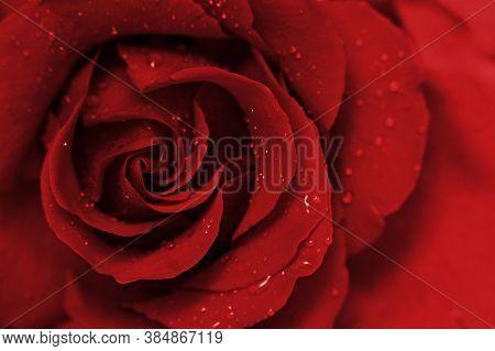 Rose Flower Background. Colorful Roses Flower. Roses Flower Bouquet. Garden Rose. Red Rose.