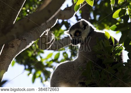 Head Of Ring Tailed Lemur In Tree