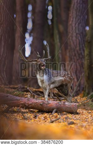 Fallow Deer Stag Walking In Forest In Autumn Nature.