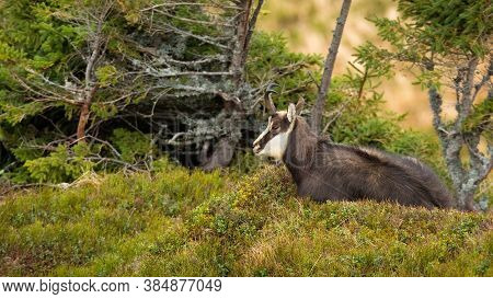 Adult Tatra Chamois Laying On The Ground In Mountains With Copy Space