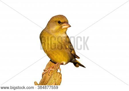 Little European Greenfinch Male Sitting On Bough Isolated On White Background.