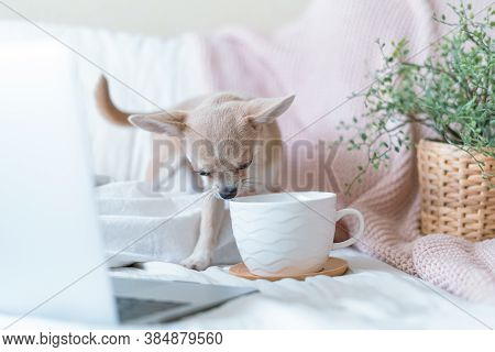 Breakfast In Bed. Funny Young Chihuahua Dog Covered In Throw Blanket With Steaming Cup Of Hot Tea Or