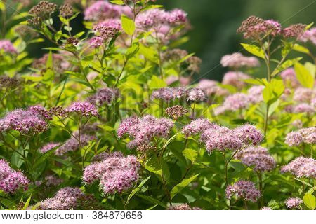 Blossoming Spirea Japanese (spiraea Japonica) In The Sunlite Summer Garden. Nature Background.