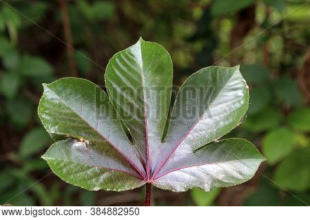 One Of These Leaves Has Five Lobes And Is Serrated Like The Teeth Of A Saw Cutting Trees.