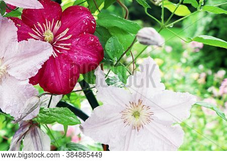 Colorful Clematis In The Garden. White And Red Clematis. The Flowers Of Clematis.
