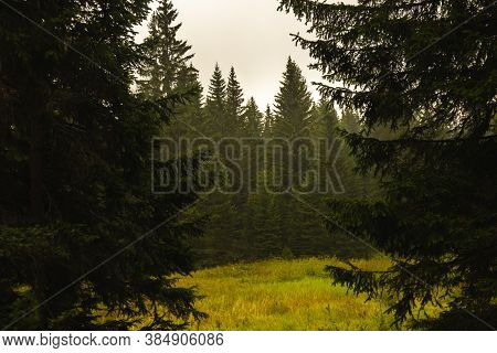 Pine Trees In The Forest After The Rain, Frame With Sky And Empty Space