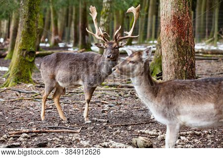 Red Deer Stag In The Forest (bavaria/germany)