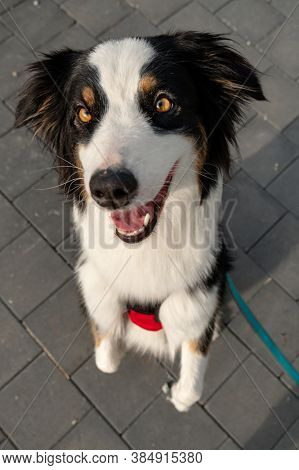 Portrait of Australian Shepherd dog while walking outdoors. Beautiful adult purebred Aussie Dog in the city.