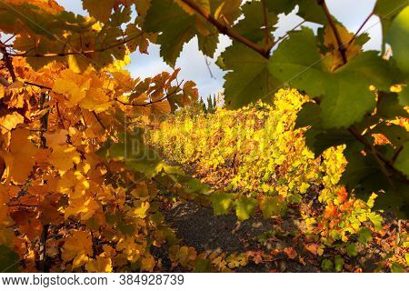 Autumn Vineyards. Growing And Harvesting Grapes. Landscape With Rows Of Yellow And Red Vineyards. Mu
