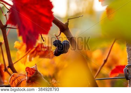 Autumn Vineyards Close-up. The Bright Yellow Leaves Of The Vine. Autumn Natural Background. Ripe Blu