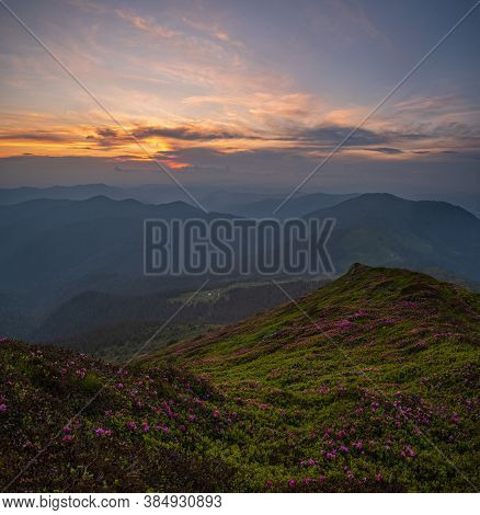 Pink Rose Rhododendron Flowers On Summer Sunset Mountain Slope. Pip Ivan Mountain, Carpathian, Ukrai