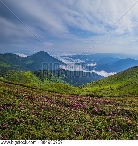 Pink Rose Rhododendron Flowers On Summer Morning Foggy Mountain Slope. Pip Ivan Mountain, Carpathian