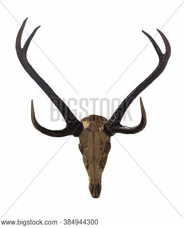 Beautiful Antler With Skull Isolated On White Background With Clipping Paths For Graphic Design. Pro