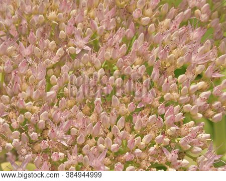 A Macro Shot Of Beautiful Sedum Flowers
