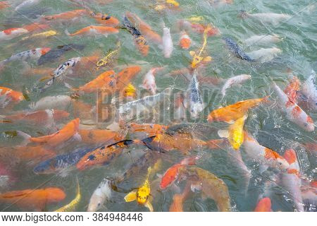 Close-up Of Tilapia And Koi Fish/fancy Carp Fish Swimming Waiting For Food In The Pond. Nature Backg