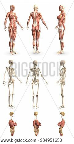 9 High Detailed Renders In 1, Womans Body With Muscle Map And Skeleton And Organs - Physiology Resea