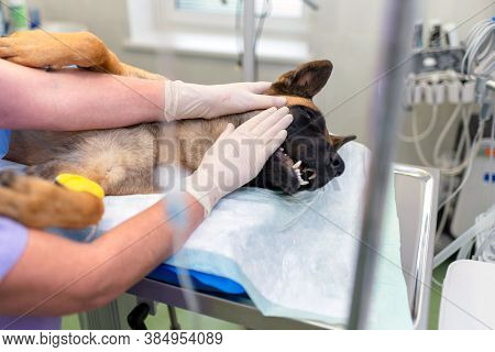 Veterinary Doctors Conducting Surgery. A German Shepherd Is Under Anesthesia. Anesthetized Dog's Hea