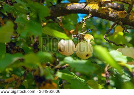 Uncultivated Sweet Apples Growing In The Forest