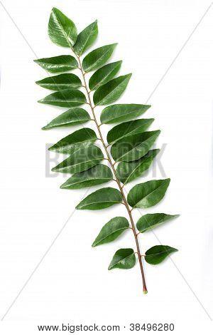 Green Curry Leaf