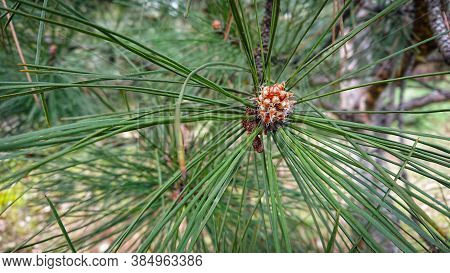 Closeup Photo Pinus Pinaster, Commonly Known As The Maritime Pine Or Cluster Pine, Is A Pine Native