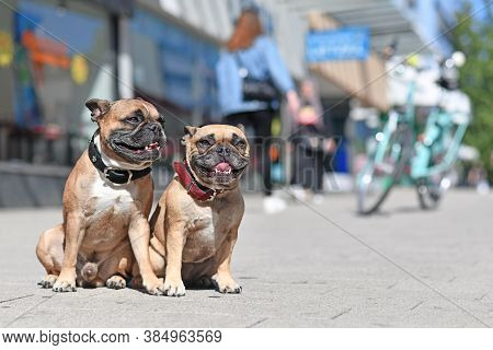 Pair Of Well Behaved French Bulldog Dogs Without Leash Sitting In City Street On Sunny Day