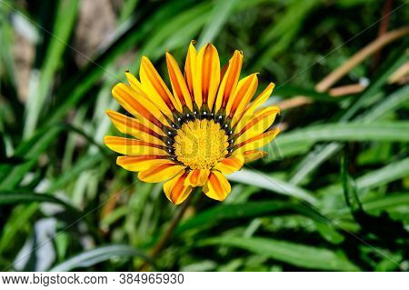 Yellow Gazania Flower And Green Leaves, In A Garden In A Sunny Summer Day