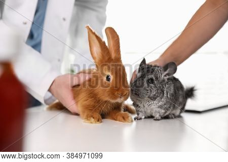 Professional Veterinarians Examining Bunny And Chinchilla In Clinic, Closeup