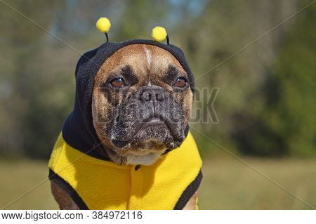 Portrait Of A Sulking French Bulldog Dog Dressed Up In Hoodie With Antlers Resembling A Bee Hallowee