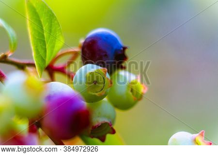 Close-up Of Blueberries On A Green Background. Copy Space. Bunch Of Purple, Pink, Black Green Ripe A