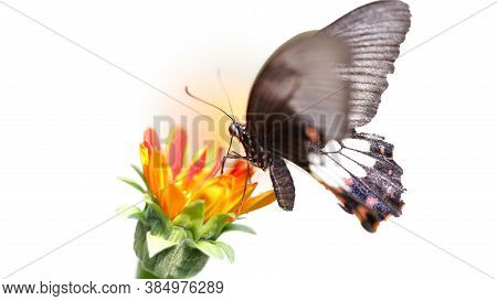 Black Butterfly Flying Over A Colorful Flower Looking For Pollen, This Elegant And Fragile Insect Fr