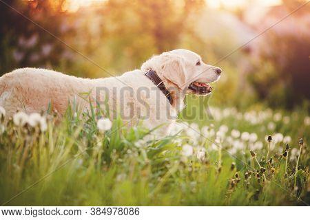 Portrait Of Dog Beauty Golden Retriever In Park On Summer Day Sun Light