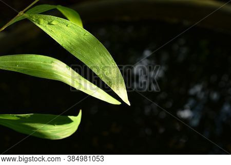 Drop Of Water And Sunbeam Spreading On Leaf After Fall In Garden With Black Background