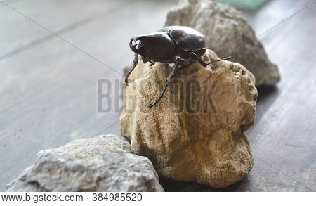 Rhino Beetle Stands On A Brown Rock. Arthropods Are Popular In Parts Of Asia