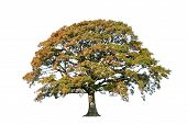 Oak tree in autumn over white background. poster