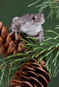 A gray tree frog is sitting on a pine cone. poster