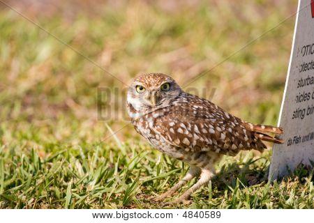 A Burrowing Owl Outside His Burrow