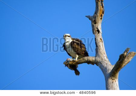 An Osprey Perched And Earing A Flounder