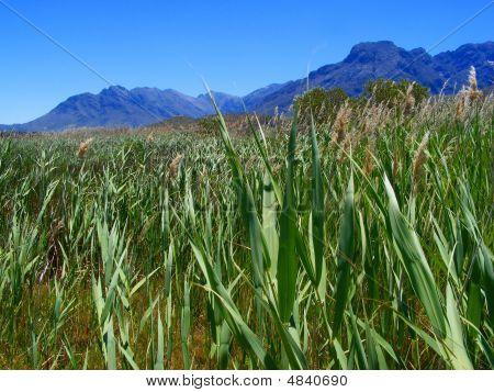 A View Through Reeds
