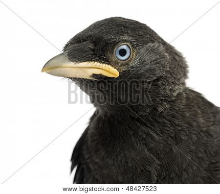 Close up of a Western Jackdaw, Eurasian Jackdaw or European Jackdaw, Corvus monedula, 20 days old, isolated on white