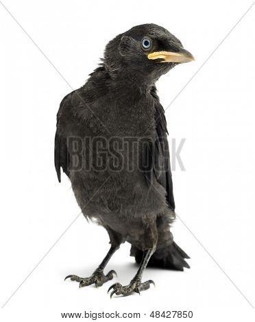Western Jackdaw, Eurasian Jackdaw or European Jackdaw, Corvus monedula, 20 days old, isolated on white