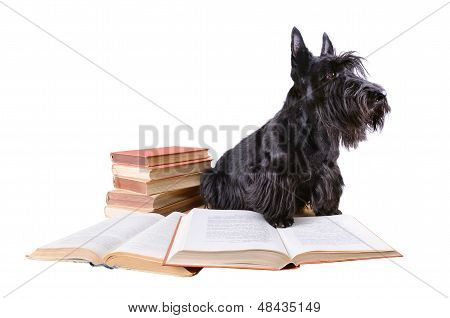 Scotch Terrier With Books