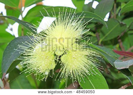 Water Syzygium Flowers